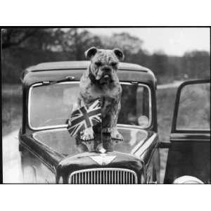 British Bulldog Stands Proudly Behind a Union Jack Flag on a Car