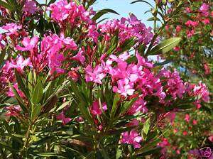 Nerium Oleander HOT PINK seeds Small Hardy Tree Shrub
