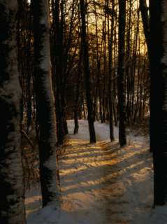 Snow Covered Trees in Forest, Early Evening, Lithuania Photographic