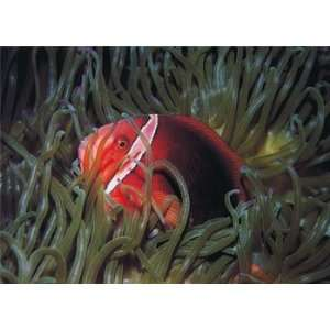 Clown Fish, Tropical Fish Note Card, 7x5 Home & Kitchen