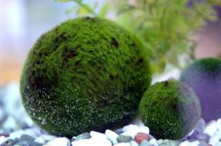 Nano Marimo Ball x 5 Live Aquarium Plant Fish Tank BP