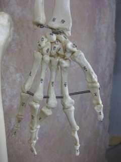 Budget Bucky Skeleton is the same as item 1st Class Bucky Skeleton